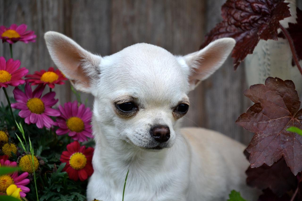 Quelindas-Chihuahua-1