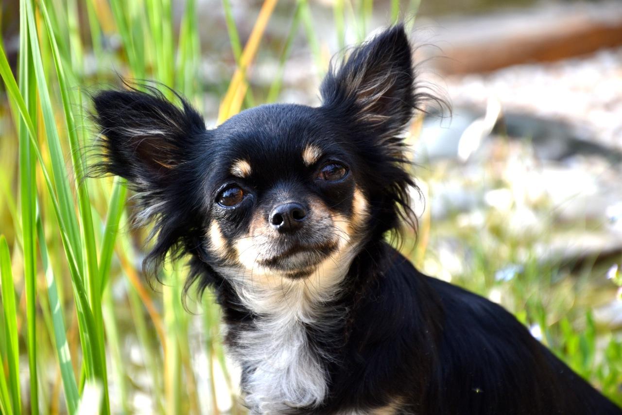 Quelindas-Chihuahua-11