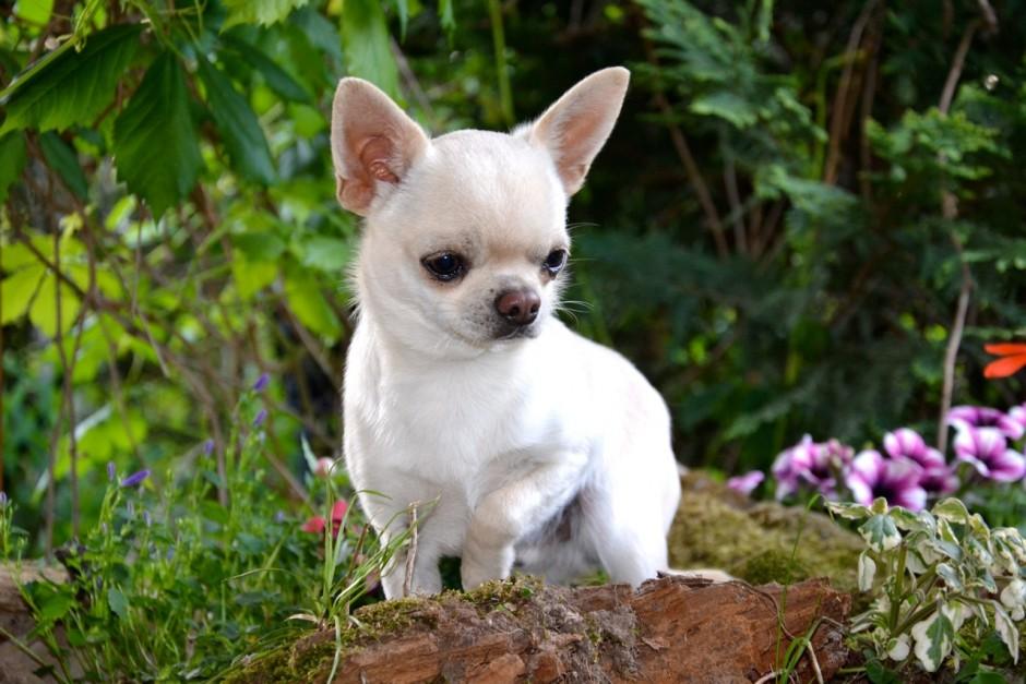 Quelinda`s Chihuahua 18