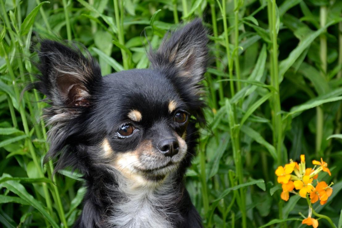 Quelindas-Chihuahua-3