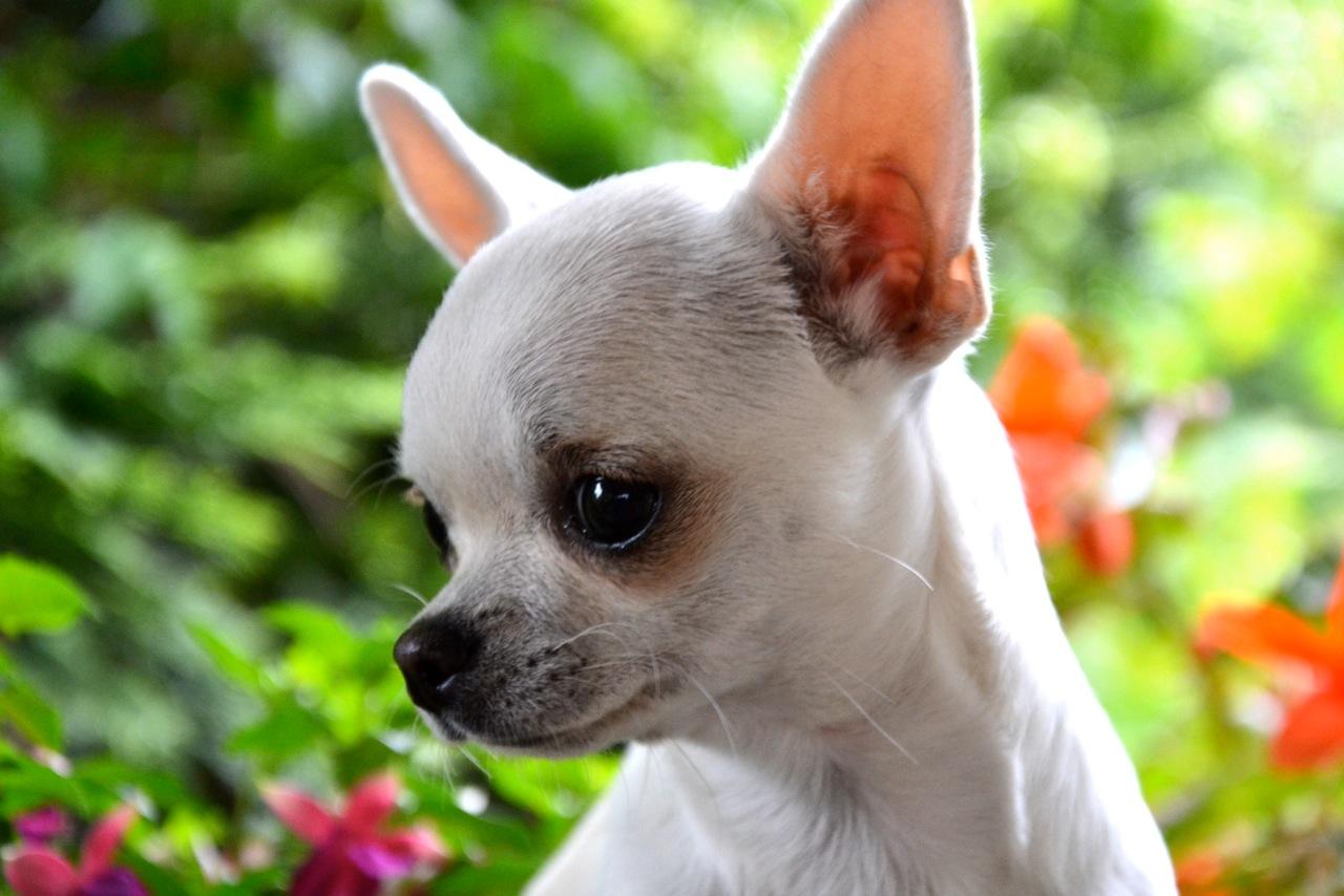 Quelindas-Chihuahua-5
