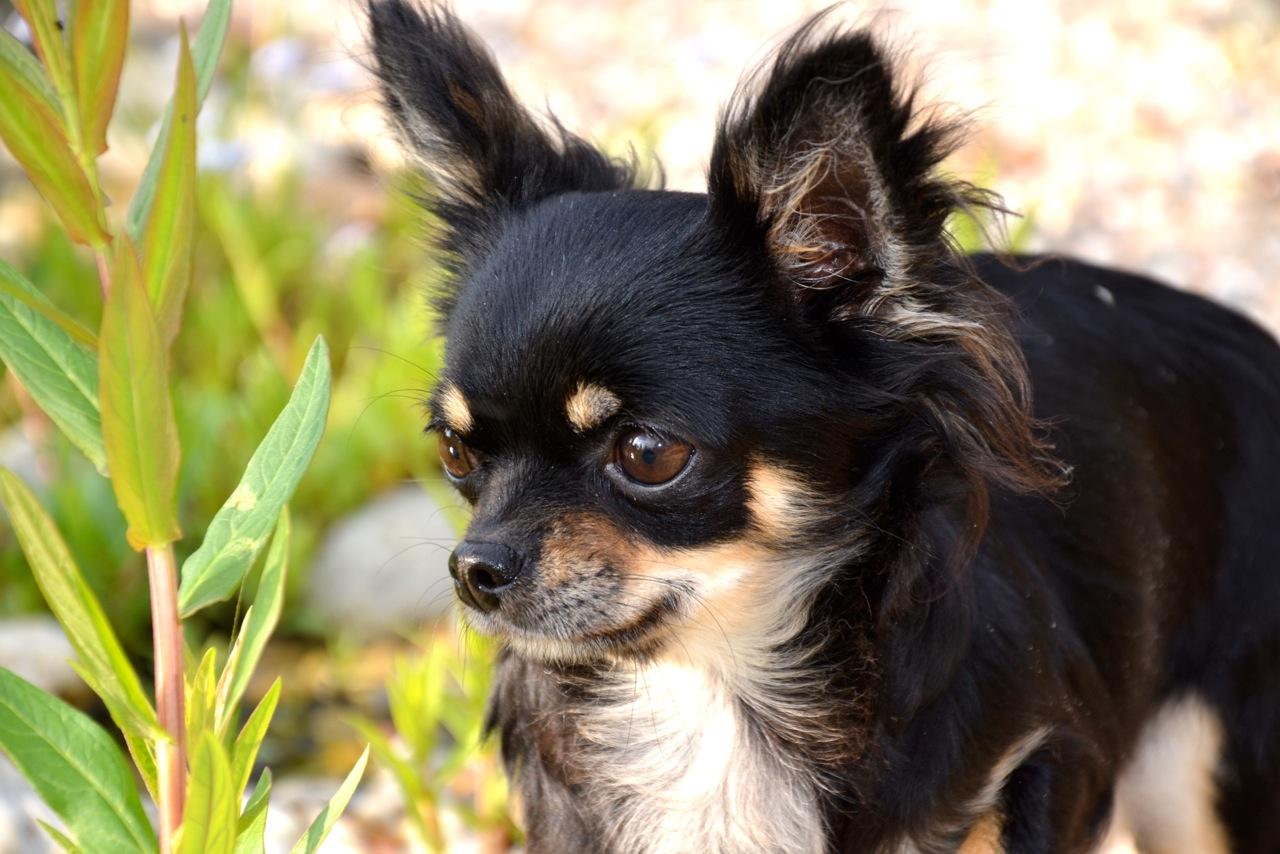 Quelindas-Chihuahua-7