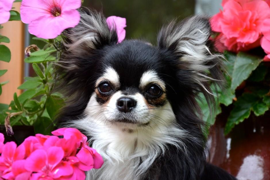 Quelinda`s Chihuahua 8