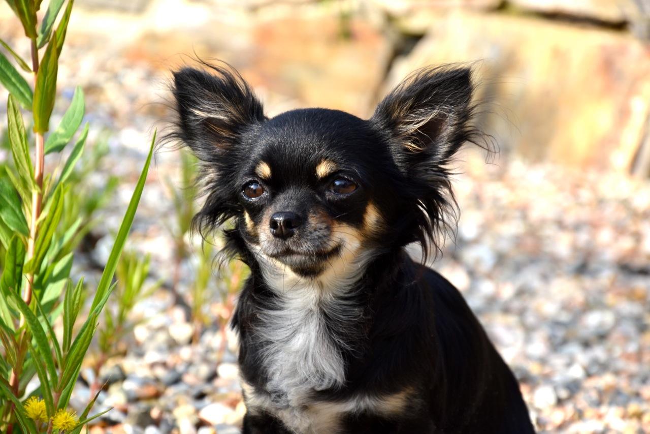 Quelindas-Chihuahua-9