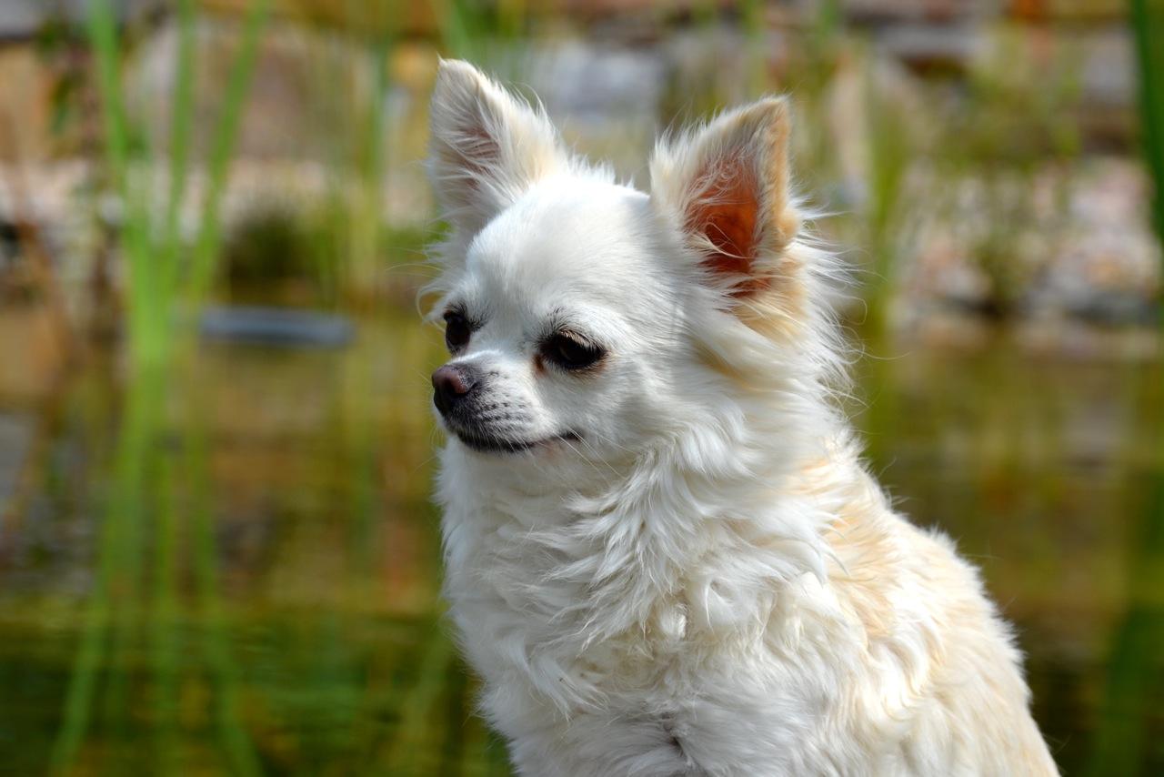 Quelindas-Chihuahua-Existing-Angel-Happy-Gang-11