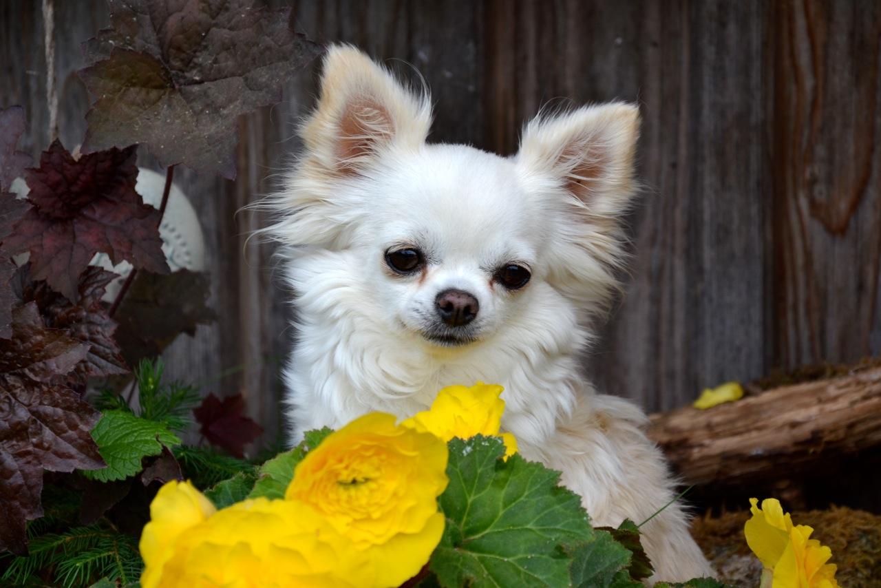 Quelindas-Chihuahua-Existing-Angel-Happy-Gang-5