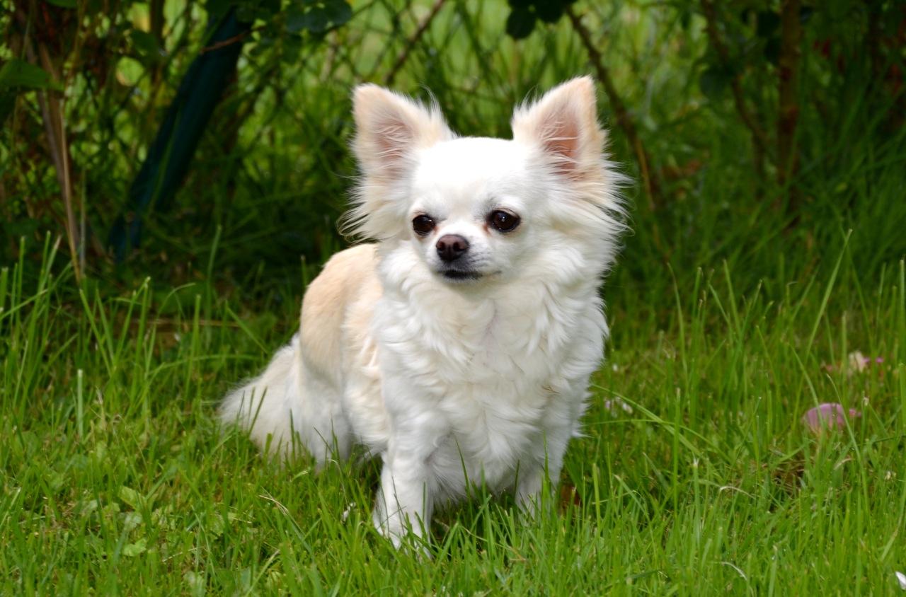 Quelindas-Chihuahua-Existing-Angel-Happy-Gang-9