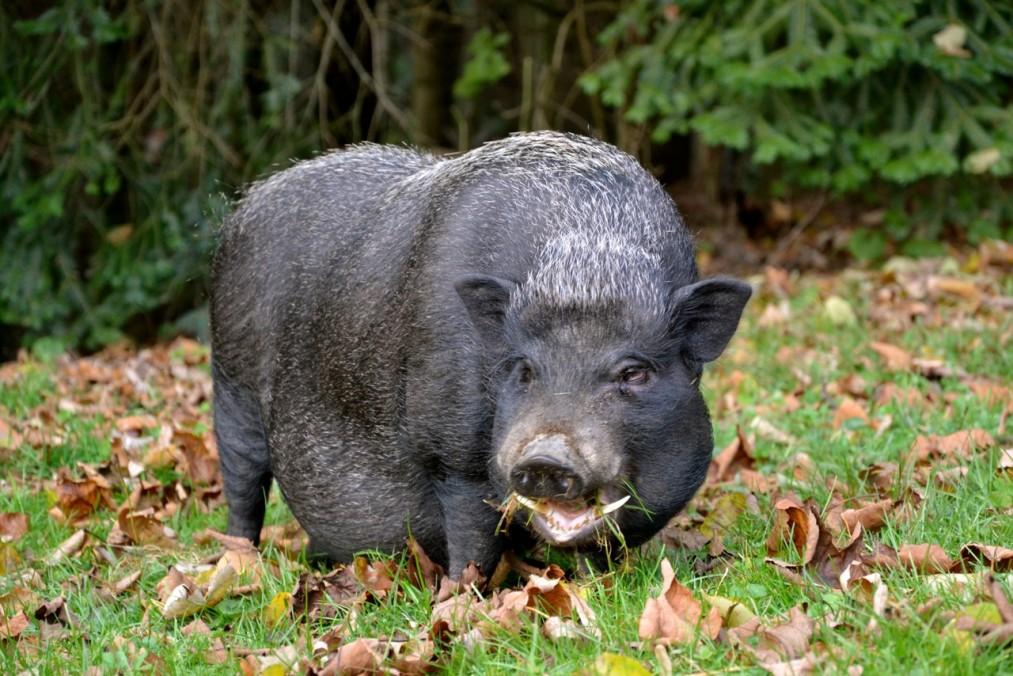 Unsere Schweinchen 36